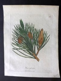 Woodville Medical Botany 1790's Hand Col Print. Pinus Sylvestris. Scots Pine Cone